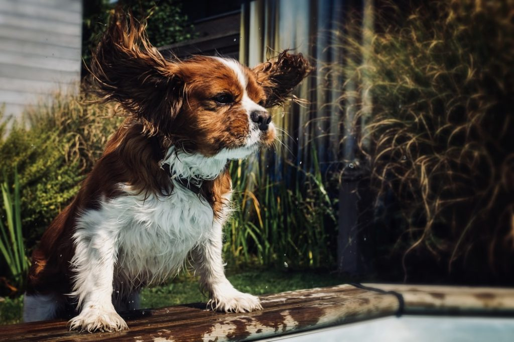 how to clean dog ears flappy ears