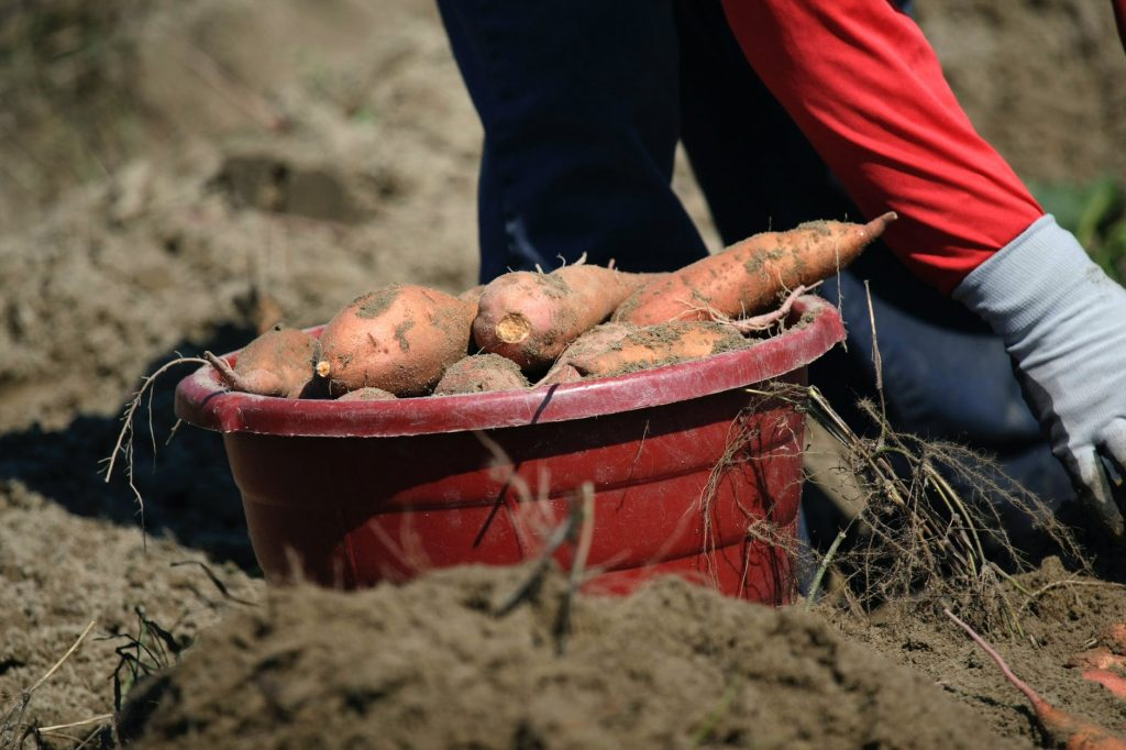 sweet potatoes for dogs difference between yams and potatoes