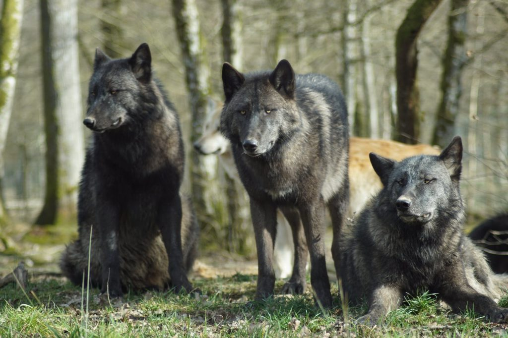 dogs eat poop because of their ancestors wolves