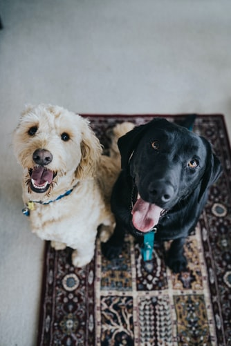 stay at home dog moms happier dogs